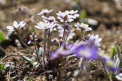 Hepatica asiatica. Blossoming in the mountains of south korea Royalty Free Stock Photography