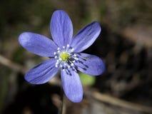 Hepatica azul Imagenes de archivo