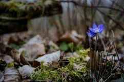 Hepatica azul del campo común de la flor Imagenes de archivo