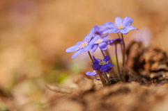 Hepatica Stock Images