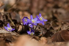 Hepatica blüht Licht der Blüte im Frühjahr Lizenzfreie Stockbilder