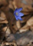 Hepatica blu Fotografie Stock Libere da Diritti