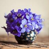 Hepatica blu dell'anemone Fotografia Stock