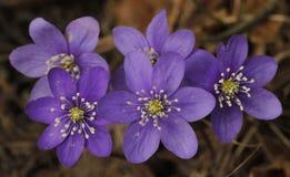 Hepatica comune, hepatica dell'anemone immagini stock libere da diritti