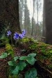 Hepatica d'anémone dans la forêt Photographie stock