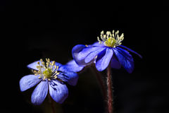 Hepatica d'anémone, deux fleurs Photos libres de droits