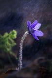 Hepatica d'anémone sous la pluie Photographie stock libre de droits