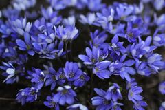 Hepatica de la anémona de las flores imágenes de archivo libres de regalías