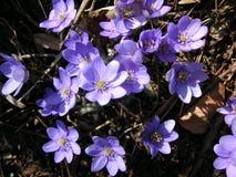 Hepatica de Violet Amenone dans la fleur Image libre de droits