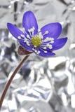 Hepatica dell'anemone Fotografie Stock Libere da Diritti