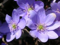 Hepatica di Violet Amenone in fiore Fotografia Stock