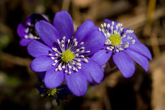 Hepatica do Anemone Fotografia de Stock Royalty Free