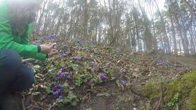 Hepatica do recolhimento da menina na borda da floresta na mola adiantada ensolarada 4K vídeos de arquivo