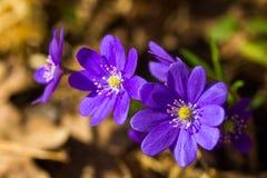 Hepatica, erste Frühlingsblumen lizenzfreies stockfoto