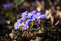 Hepatica, fiori blu della prima molla in un giorno soleggiato fotografia stock libera da diritti