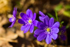 Hepatica, first spring flowers royalty free stock photo