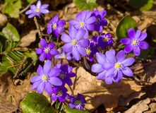 Hepatica, first spring flowers Royalty Free Stock Images