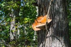 Hepatica fistulina †грибка бифштекса « Стоковые Фото