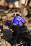 Hepatica floreciente Imagen de archivo libre de regalías
