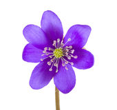 Hepatica flower Stock Photos