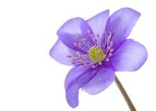 Hepatica flower Stock Image