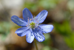 Hepatica Stock Image