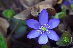 Hepatica flower Royalty Free Stock Image