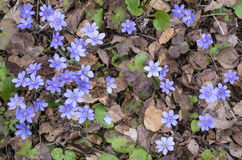 Hepatica flowers Royalty Free Stock Images