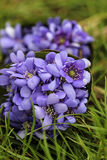 Hepatica flowers, pretty small bouquet Royalty Free Stock Images