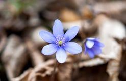 Hepatica flowers Stock Images