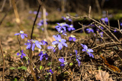 Hepatica in forest Royalty Free Stock Photos