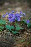 Hepatica kwiat Zdjęcie Stock