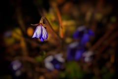 Hepatica kwiat w wiosna wieczór świetle Obrazy Stock