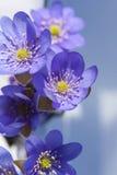 Hepatica kwiaty. obraz royalty free