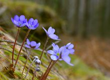 Hepatica Liverleaf Blue Macro Forest. Hepatica, liverleaf, or liverwort in the forest. Hepatica is a genus of herbaceous perennials in the buttercup family Royalty Free Stock Images