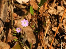 Hepatica liverwort Flower Stock Photo