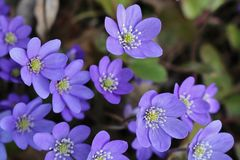Hepatica Royalty Free Stock Images