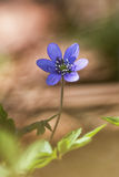 Hepatica nobelis in a arty style. During spring royalty free stock images