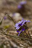 Hepatica nobili. Liverleaf,blue anemone,or hepatica nobili Royalty Free Stock Photo