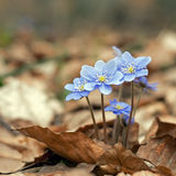 Hepatica nobilis. Blooming in the spring forest Hepatica nobilis Royalty Free Stock Photo