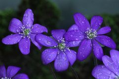 Hepatica nobilis Stock Photos
