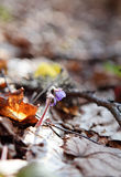 Hepatica nobilis. Blooming in the spring forest Hepatica nobilis Royalty Free Stock Images