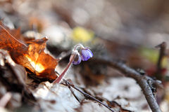 Hepatica nobilis. Blooming in the spring forest Hepatica nobilis Stock Photography