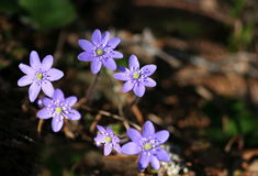 Hepatica nobilis Stock Photography