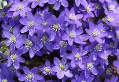 Hepatica nobilis. Early spring flowers Royalty Free Stock Photo