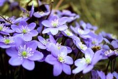 Hepatica-nobilis - blühend blüht im Vorfrühling, unscharfes BAC Stockfotografie