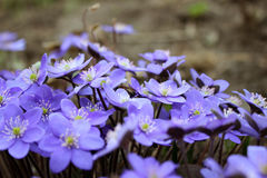 Hepatica-nobilis - blühend blüht im Vorfrühling, unscharfes BAC Lizenzfreies Stockbild