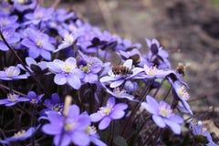 Hepatica-nobilis - blühend blüht im Vorfrühling, unscharfes BAC Lizenzfreie Stockfotos