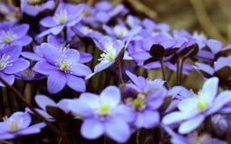 Hepatica-nobilis - blühend blüht im Vorfrühling, unscharfes BAC Stockbild