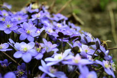 Hepatica-nobilis - blühend blüht im Vorfrühling, unscharfes BAC Lizenzfreie Stockbilder